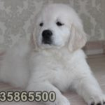 baby face golden retriever