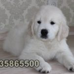 safkan golden retriever