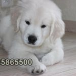 yavru golden retriever