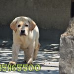 satilik_labrador_retriever