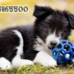yavru border Collie