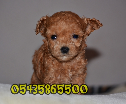satilik toy poodle