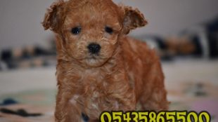 SATILIK RED TOY POODLE